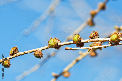 cones on larch tree twig with blue spring sky
