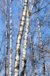 naked birch trunks in spring