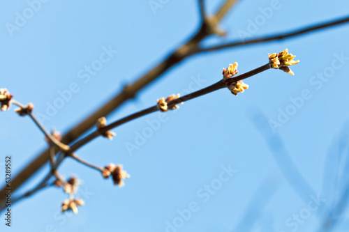green buds on apple tree twig