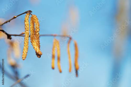Male catkins of Alder tree close