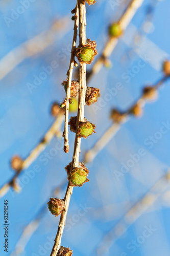 young cones on larch tree branch