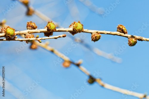green buds on larch tree twig close up