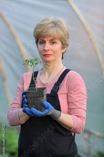 Agricultural worker in a greenhouse with tomato plant seedling