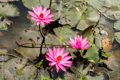 The Lake of water lily