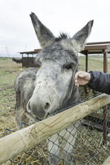 Petting donkey