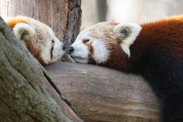 Red or lesser pandas (Ailurus fulgens) are resting on a tree
