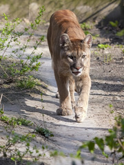 A puma or cougar (Puma concolor) is coming
