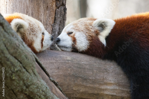 Poster Panda Red or lesser pandas (Ailurus fulgens) are resting on a tree
