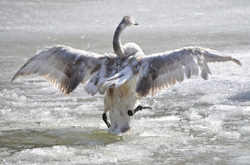 Лебедь на льду.