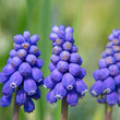 Traubenhyazinthen - Muscari