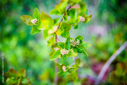 Young aronia in spring