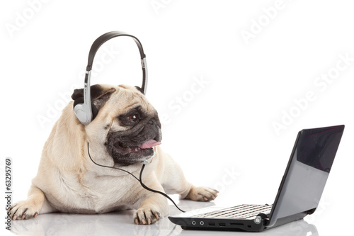 pug gdog  on looking at a laptop computer.