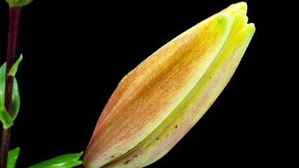 Yellow lily close up blooming timelapse