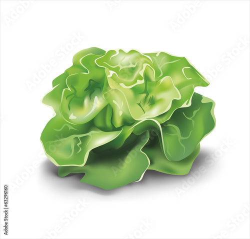 Green lettuce. Vector illustration.