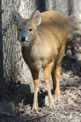 Chinese water deer (Hydropotes inermis inermis)