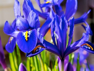 Blue iris and purple crocus in flowerbed in spring.
