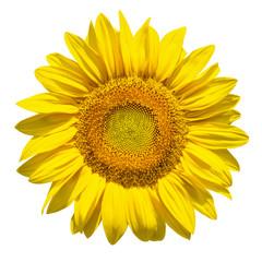 Sonnenblume vor weissem Hintergrund
