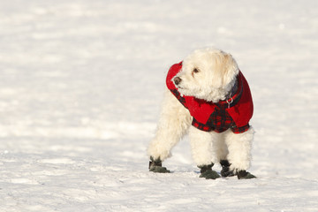 Cockapoo in Coat and Boots