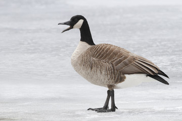 Canada Goose Calling on a Frozen River