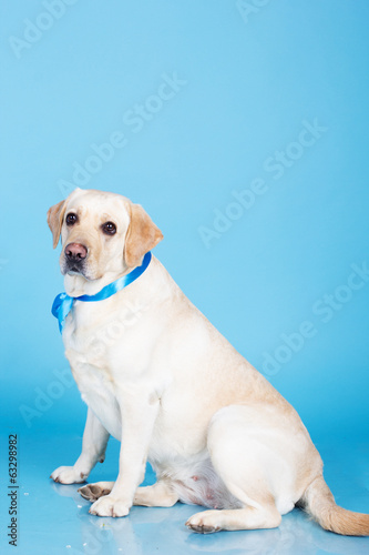 Cute labrador dog in studio