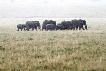 A herd of African elephants moving in rain