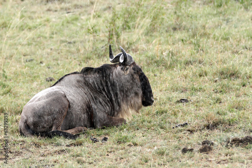 A Wildebeest sitting on the grass during rain