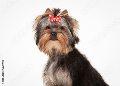 yorkie puppy on white  background