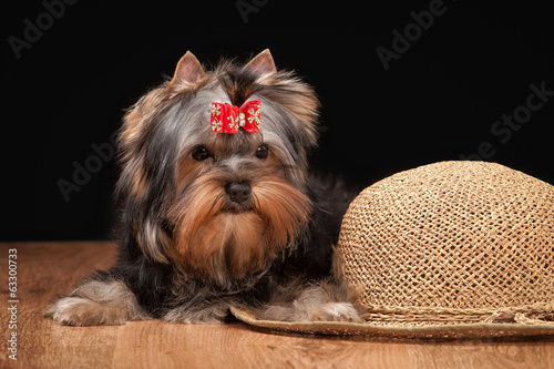 yorkie puppy on table with wooden texture