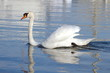 Mute swan with open wings