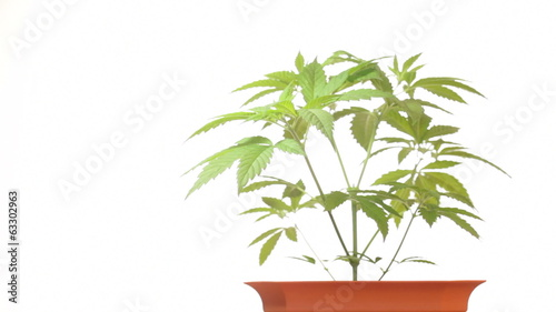 Medical marijuana in flowerpot