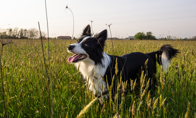 border collie in the nature