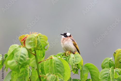 Light-vented Bulbul (Pycnonotus sinensis) in Taiwan