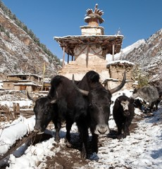 Group of yaks and village in Lower Dolpo