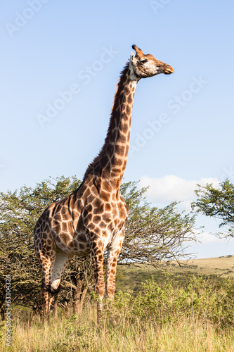 Giraffe in nature outdoor safari reserve park in Africa