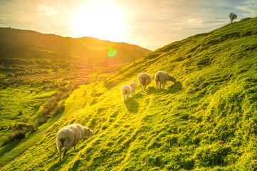 Schafe, Grüne Wiese, Sonnenlicht