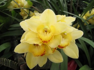 Garden: exotic yellow orchid grown in greenhouse environment