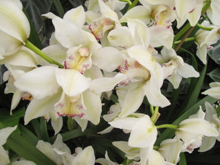 Garden: exotic white orchids grown in greenhouse environment