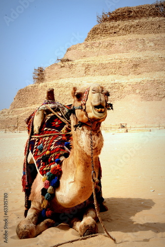 Smiling Camel at Saqqara Pyramid in Egypt