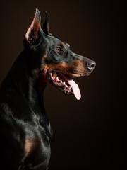 Dobermann guard dog