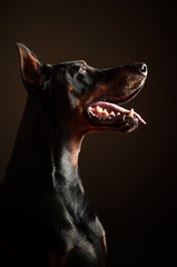 Dobermann obedience