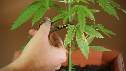 Cannabis cultivating