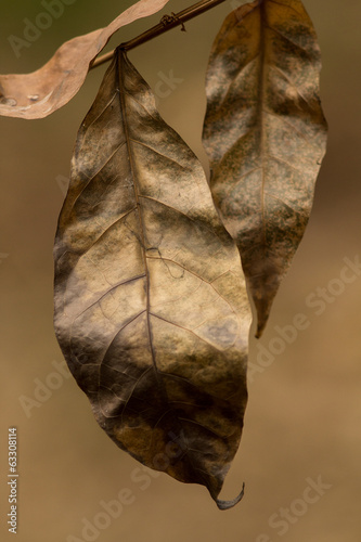 The dry leaves.