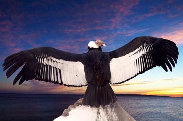 Andean condor  against sunset sky