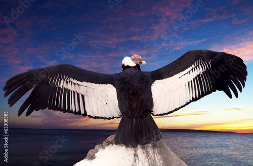 Andean condor  against sunset sky