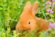 Baby bunny eat in spring grass