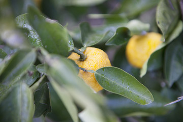Citrus fruit / Citron