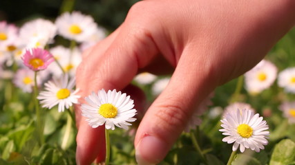 Woman picking daisies for a bouquet, closeup