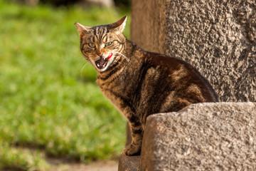 Katze leckt sich die Schnauze