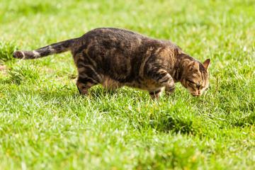 Katze sucht nach Mäusen