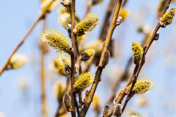 Ветки с распускающимися почками весной